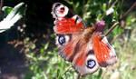 A peacock butterfly - Poland by YakuzaKuroi