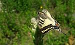 The Old World swallowtail - Czechia by YakuzaKuroi