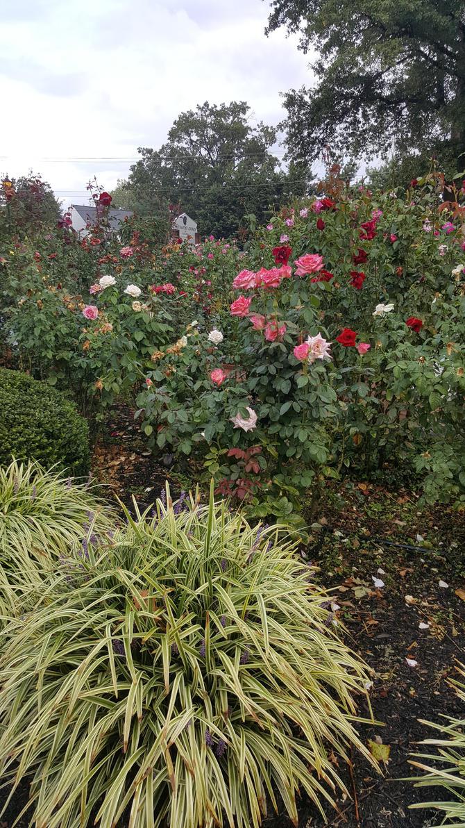 Rose stock 3 by PrincessMagical