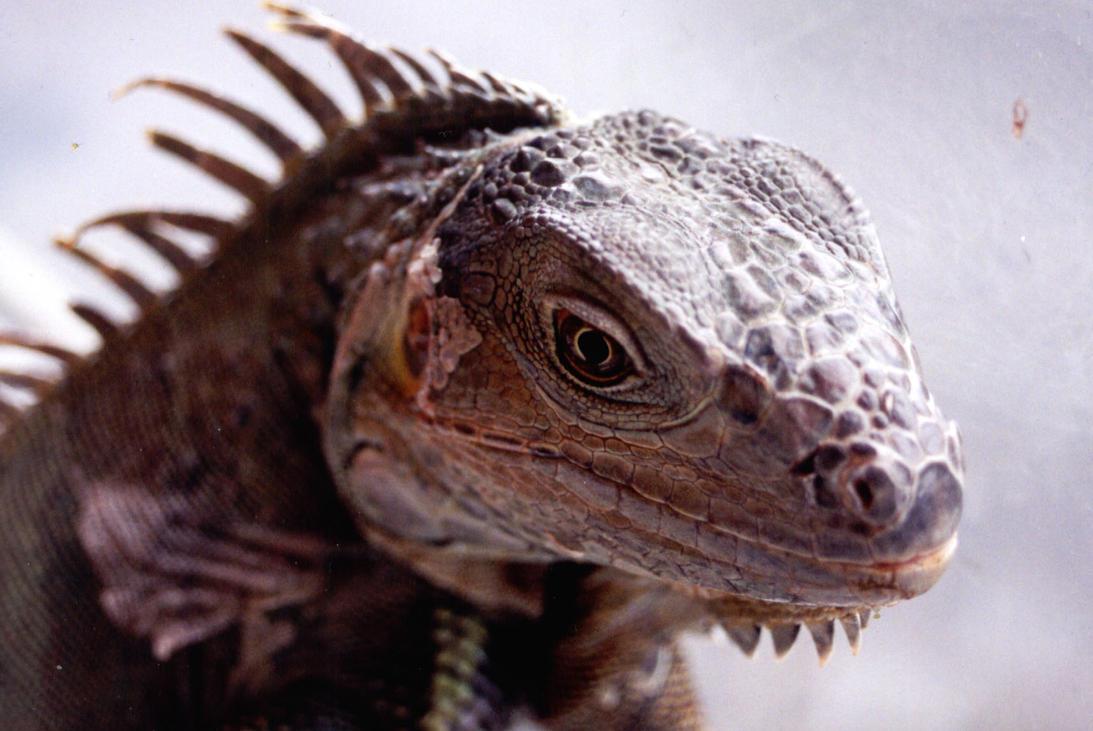 Iguana by ho-mono