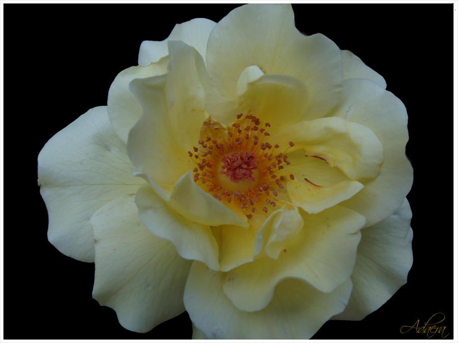 Yellow Rose by Adaera