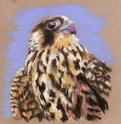 Peregrine Falcon by AySquid