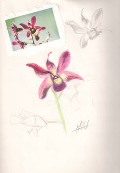 Orchid Sketch: Coloured Pencil
