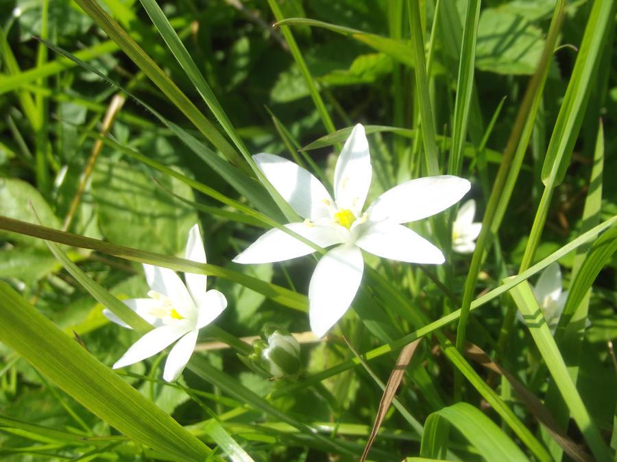 White star flower by jadedlioness