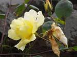 Yellow Rose #12