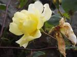 Yellow Rose #13