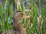 Mummy Duck again