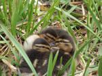 Ducklings #5