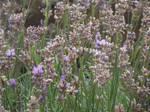 Lavender #5