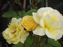 Yellow Roses #16 by jadedlioness