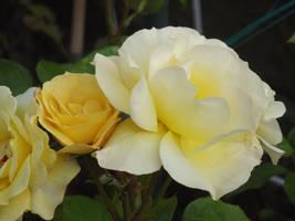 Yellow Roses #17 by jadedlioness