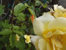 Yellow Rose #18 by jadedlioness