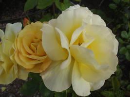 Yellow Roses #19 by jadedlioness