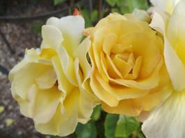 Yellow Roses #20 by jadedlioness