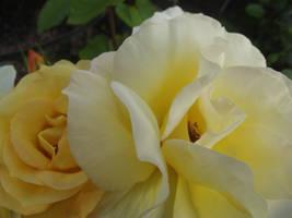 Yellow Roses #21 by jadedlioness