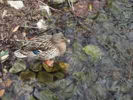 Kew Gardens: Ducks #2 by jadedlioness