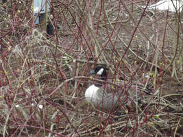Kew Gardens: Geese #1 by jadedlioness