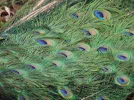 Kew Gardens: Peacock Feathers by jadedlioness