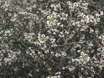 Kew Gardens: Erica aka Heather #1 by jadedlioness