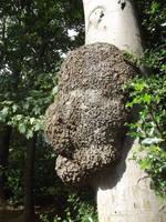 Tree hive or fungus?