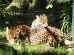 Jaguars #1
