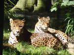 Jaguars #2