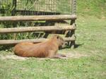 Capybara #1 by jadedlioness