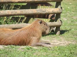 Capybara #2