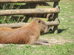 Capybara #2 by jadedlioness