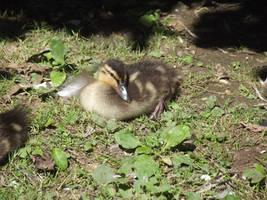 Zoo Duckling