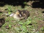 Zoo Duckling by jadedlioness