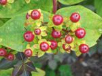 Red Berries by jadedlioness