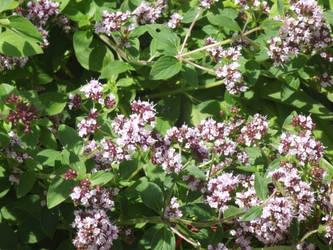 Lilac flowers by jadedlioness
