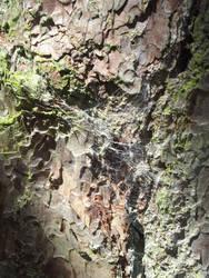 Spiderweb Bark