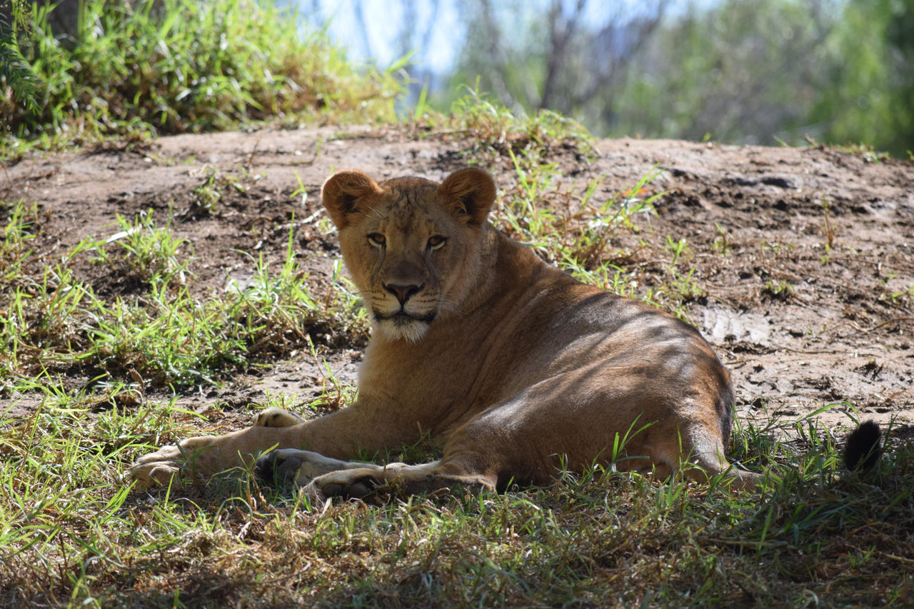 Lioness resting in the Shade by SoulsofTheDoomed