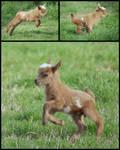 Frolicking Baby Goat