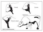 Open Polytechnic: bull body language