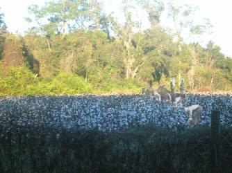ghosts in the cotton feild