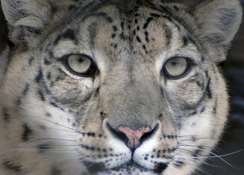 Snow leopard face side - photo#16