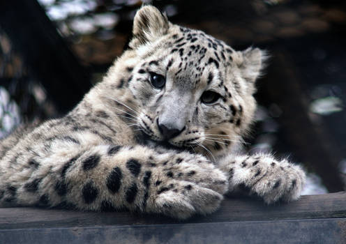 Sweet Snow Leopard