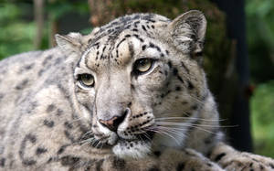 Snow Leopard Close-up by Vertor