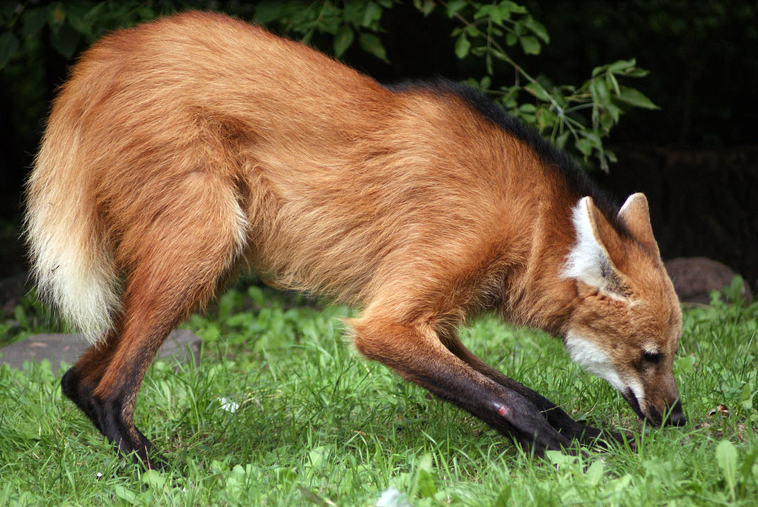 Maned Wolf Pictures Maned Wolf by Vertor