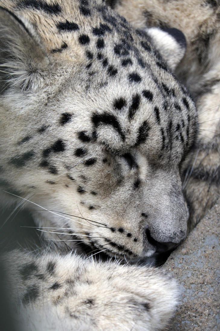 Sleeping Snow Leopard by Vertor on DeviantArt