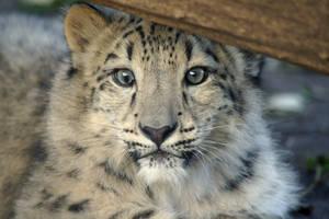 Derpy Snow Leopard