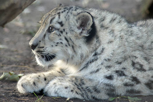 Snow Leopard is waiting