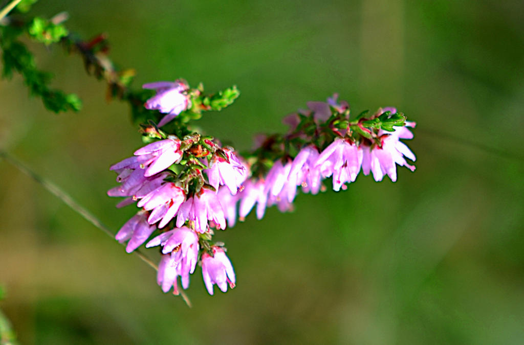Heather flower by endag on deviantart heather flower by endag mightylinksfo