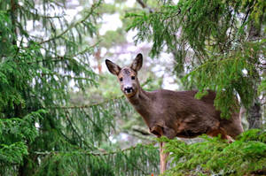 Roe deer by Peter-Gripenbark