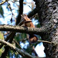 Squirrel by Peter-Gripenbark