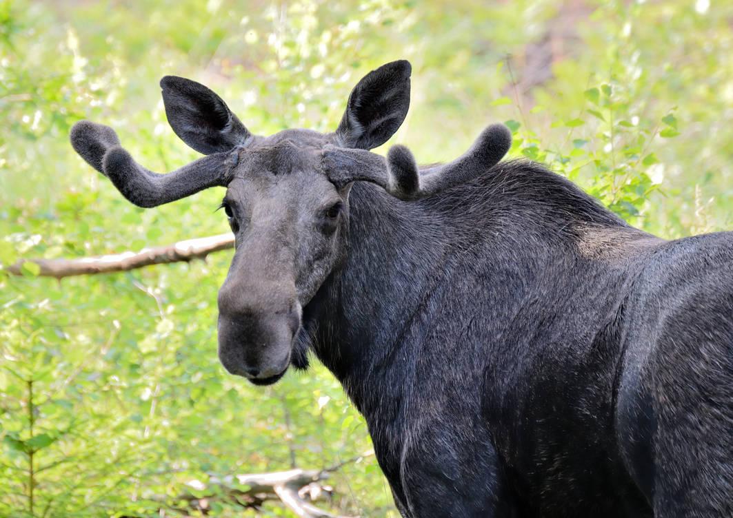Bull moose by Peter-Gripenbark