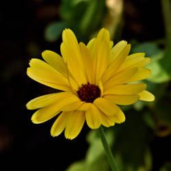 Yellow flower by Peter-Gripenbark